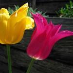 BB's Tulips