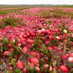 Cranberry fields 2