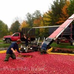 Cranberry harvest, WI