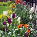 G.Tulip bed