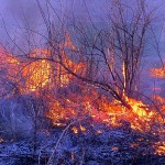 burning mulberry, Prescribed fire March 2012 IL