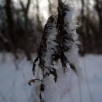 frosty prairie plant