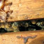 honeybees hive H