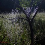2 spider webs in tree. Aug 2012, IA