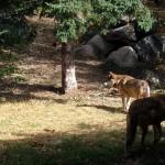 2 wolves near den. MN Sept. 2012