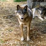 2 wolves. MN Sept. 2012