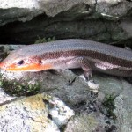 5-lined skink male, breeding colors. IA May 2012
