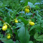 5 yellow lady's slippers. May 2012