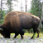 Bison bull. WY Aug. 31, 2012