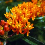 Butterfly milkweed2, IL. Jun 2012