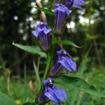 Great lobelia. Aug 2012 IA
