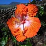 Kaupo Gap, hibiscus