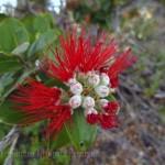 Ohia flowers