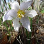 Pasque flower. Mar. 2012, IA