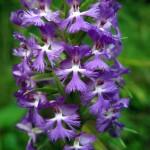 Purple fringed orchid. July 2012