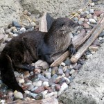 River otter3. Jul 2012