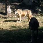 Sun wolf, shade wolf. MN Sept 2012