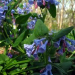 Virginia bluebells, large group. IL Apr. 2012