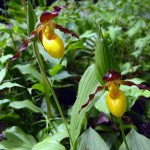 Yellow lady's slipper (vert.) dainty. May 2012 IA