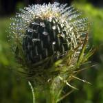 dew on native thistle (vert). Aug 2012