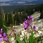 fireweed, Bighorn Mtns, WY. Aug. 2012