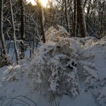fresh snow on trees, invasive shrubs 2012