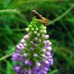 grasshopper on flower. Jul 2012