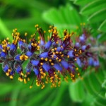 leadplant flowers, macro. Jul 2012