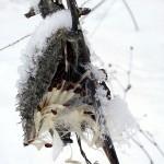 milkweed seedpod with snowflakes (horzt)