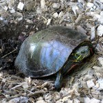 painted turtle laying her eggs. Jun 2012