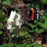 red admiral on squirrel corn, IA Apr 2012