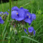 spiderwort flowers. IA June 2011