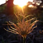 sunset on pasqueflower seedhead, IA Apr 2012