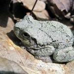 tree frog, lt gray, side view. IA May 2012