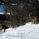 two white-tail deer. IA Feb. 2013