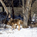 white-tail deer near shed. IA Feb. 2013