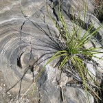 yucca, old cave formation. NM, Feb 2012
