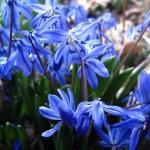 Scilla flowers (vert 2)