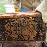 checking bees. Apr. 2012