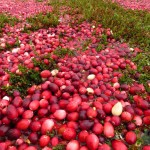cranberry field 1, WI