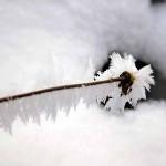 frosty plant 1, Feb 2013