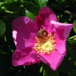 honey bee in rose