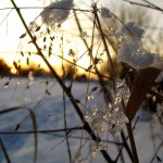 ice on switchgrass at sunset 3. Feb 2013