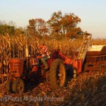 picking field corn