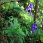 3 Northern Monkshood (habitat shot). July 2011 IA
