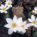 6 bloodroot flowers. IL March 2012