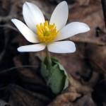 Bloodroot (small vert.). Mar 2012, IL