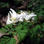 Dutchman's breeches (vert.). IA, April 2012