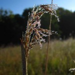 Indian grass with dew. Aug 2012