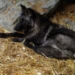 Luna resting. MN Sept. 2012